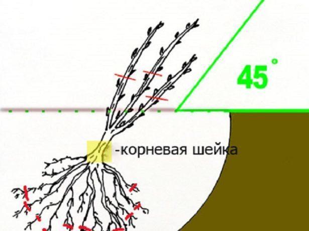 Смородина черная Ядреная: описание сорта, фото, отзывы