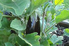 Баклажан Бибо f1: описание сорта, фото, отзывы