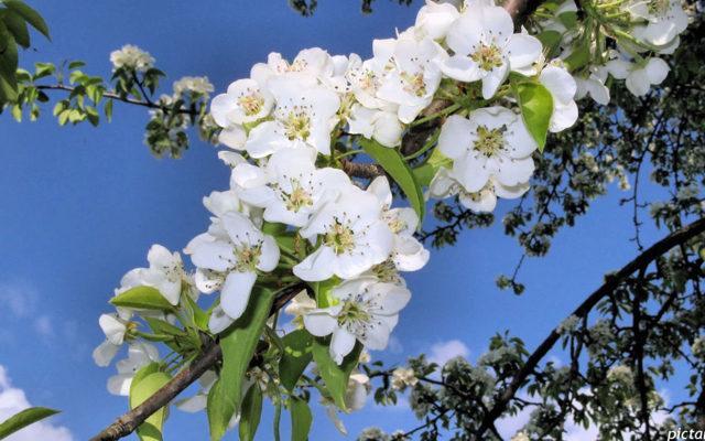 Как привить яблоню на дичку весной