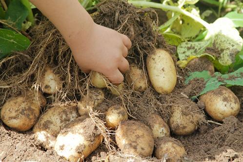 Картофель Венди: описание сорта, фото, отзывы