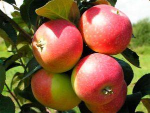 Яблоня Елена: описание сорта, фото, отзывы садоводов