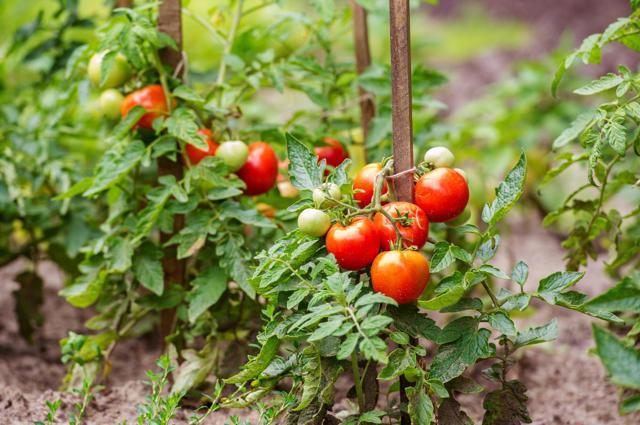 Формирование индетерминантных томатов + видео