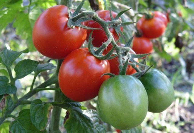 Сорта непасынкуемых помидор