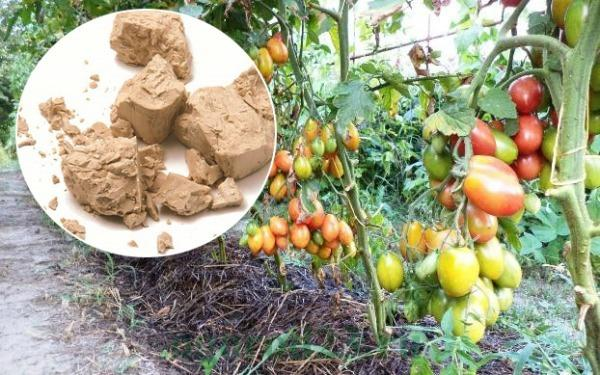Дрожжевая подкормка томатов в теплице