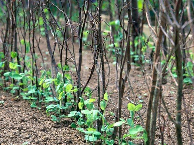 Посадка гороха весной в открытый грунт