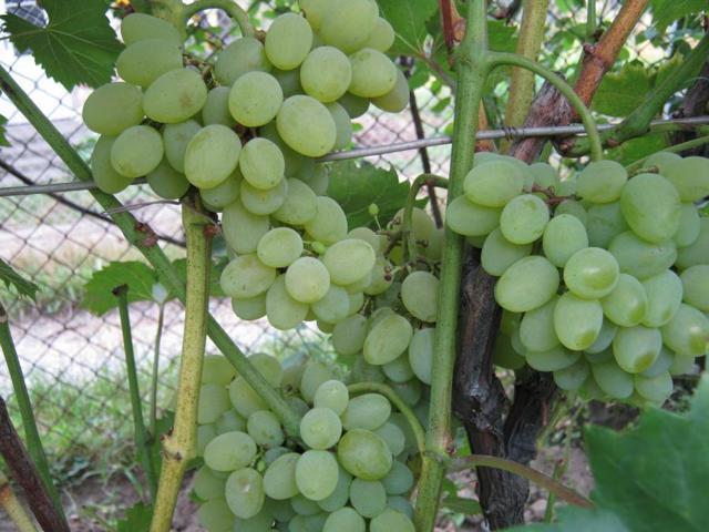 Виноград Плевен: описание сорта, фото, отзывы