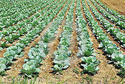 Надо ли обрывать нижние листья у капусты: зачем и когда убирают