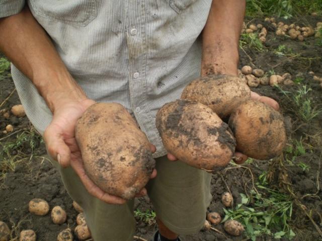 Картофель Беллароза: описание сорта, фото, отзывы