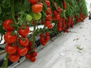 Высаживаем помидоры в парник