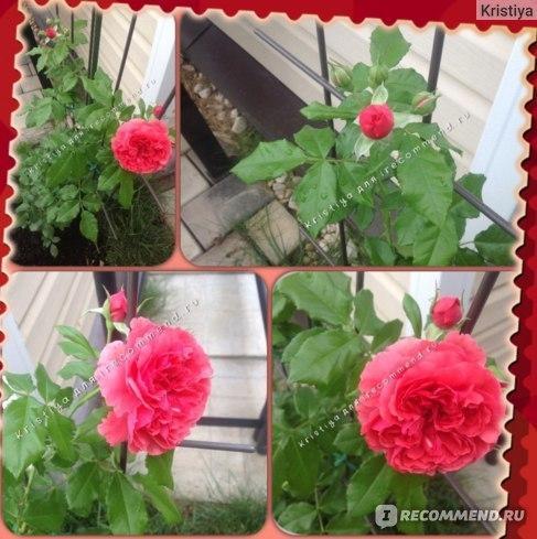 Плетистая роза Розариум Ютерсен + отзывы
