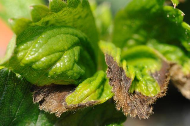 Болезни и вредители клубники и их лечение