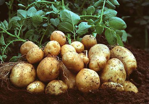Картофель Яна (Янка): описание сорта, фото, отзывы, вкусовые качества