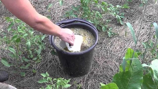 Подкормка для перцев из дрожжей и золы