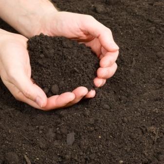 Клематис сорта Ниобе: описание, агротехника посадки и выращивания, фото, отзывы.