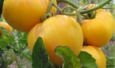 Томат Гигант лимонный: характеристика и описание сорта