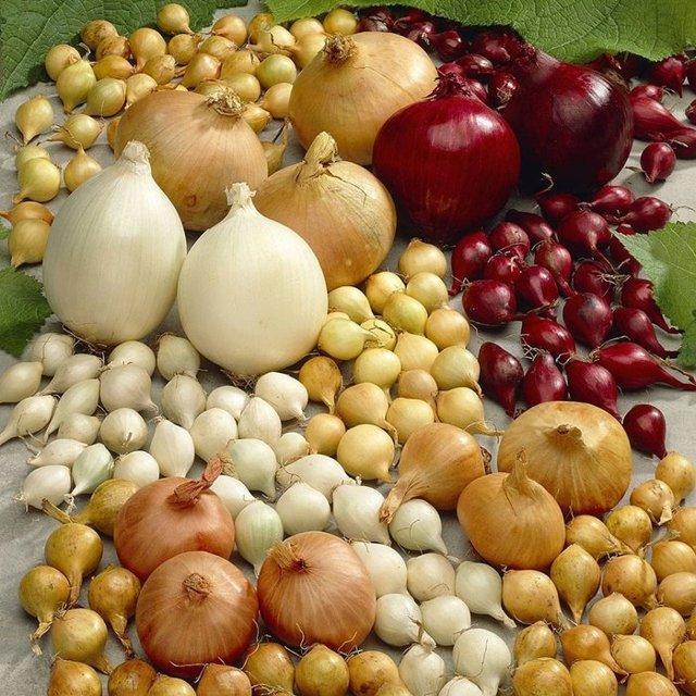 Обработка лука перед посадкой: солью и марганцовкой, дегтем, фитоспорином, содой