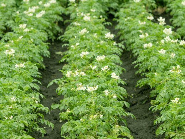 Гербициды от сорняков по картофелю
