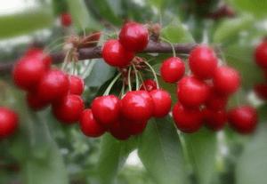 Черешня Бряночка: описание сорта, морозостойкость, опылители, фото, отзывы