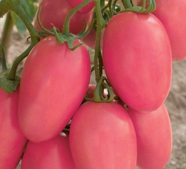 Томат розовый Новичок: характеристика и описание сорта