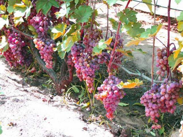 Виноград Ливия: описание сорта, фото, отзывы, видео