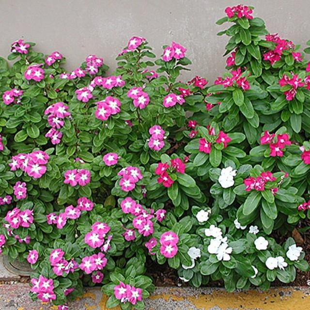 Долгоцветущие многолетники для сада