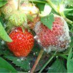 Клубника Элиане: описание сорта, фото и отзывы садоводов
