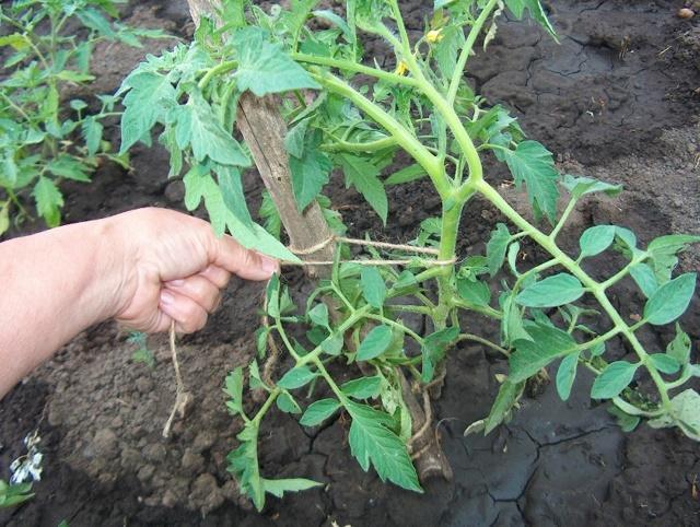 Томат Петруша огородник: фото, отзывы