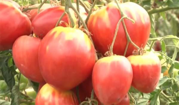 Томат Мясистый-сахаристый: описание сорта, отзывы, фото, урожайность