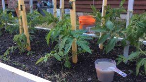 Удобрение рассады томатов золой