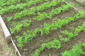 В какие сроки сеять морковь в Сибири