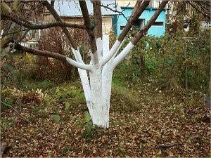 Когда белить яблони осенью