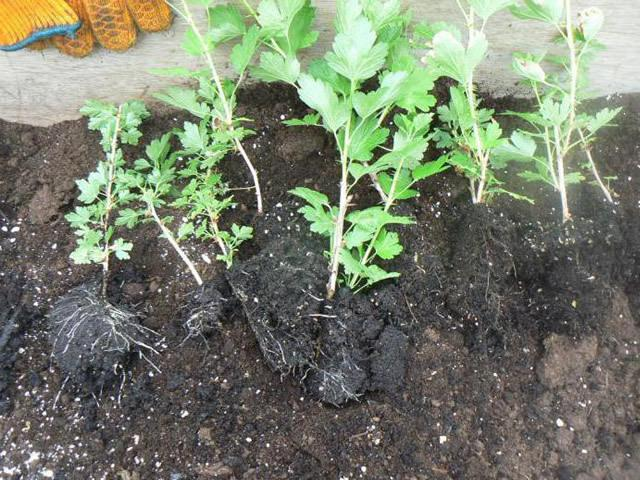 Крыжовник Конфетный: описание сорта + фото, отзывы садоводов