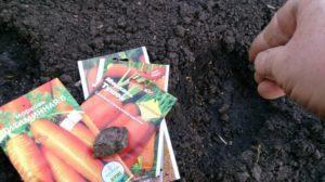 Как сеять морковь, чтобы быстро взошла + видео
