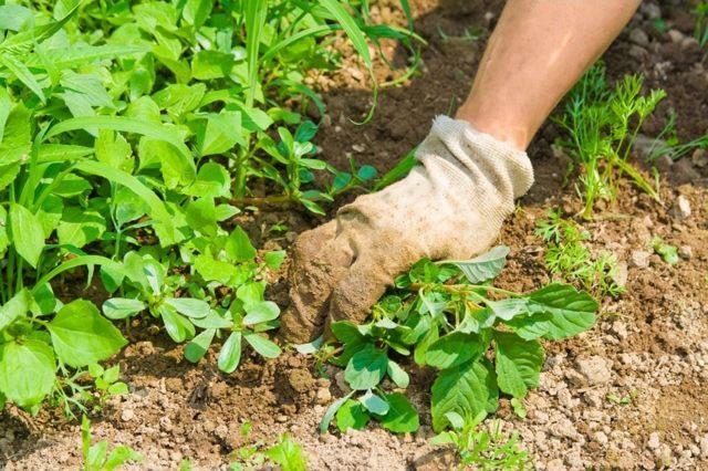 Весенний уход за малиной: советы садоводов