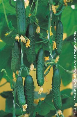 Огурец Зозуля f1: отзывы, фото, выращивание в теплице и открытом грунте