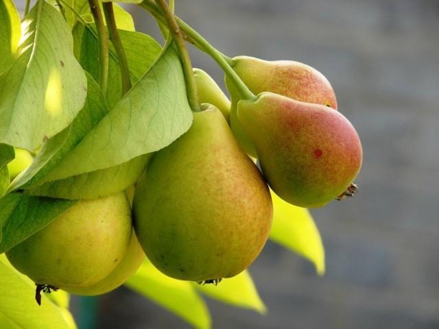 Как привить грушу: весной, летом, осенью, пошаговое руководство, когда и на что прививать
