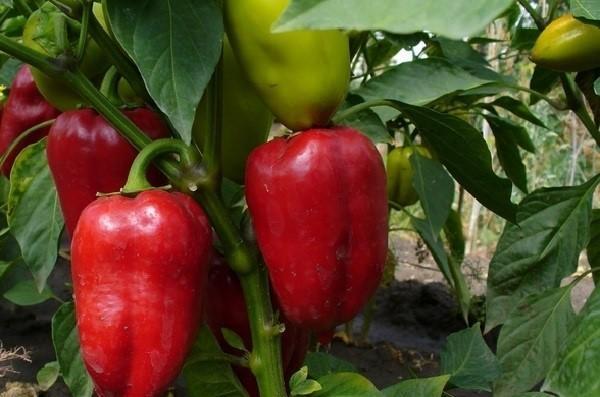 Сладкий перец Атлант: описание сорта, уход, фото, отзывы
