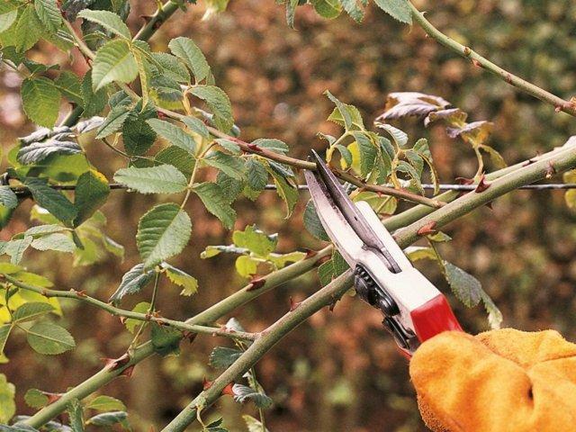 Как обрезать вьющиеся розы на зиму: как ухаживать, видео