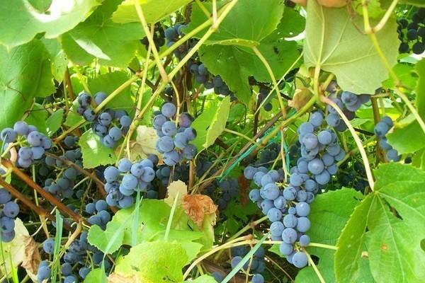 Виноград Зилга: характеристика, посадка и уход, фото, отзывы