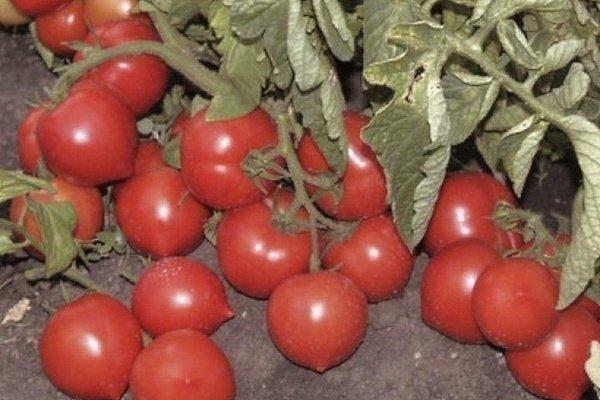 Томат Моя любовь f1: отзывы, описание сорта, урожайность, фото