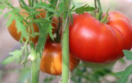 Томат Аврора: описание сорта, выращивание, фото, отзывы