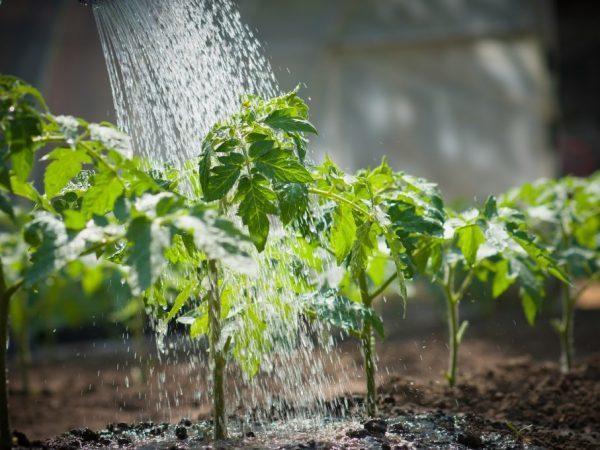 Как и чем правильно подкормить помидоры в открытом грунте