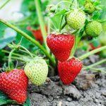 Чем подкормить клубнику весной для хорошего урожая: дрожжами, мочевиной