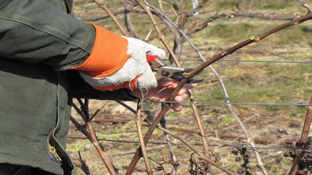 Когда обрезать виноград осенью в средней полосе России