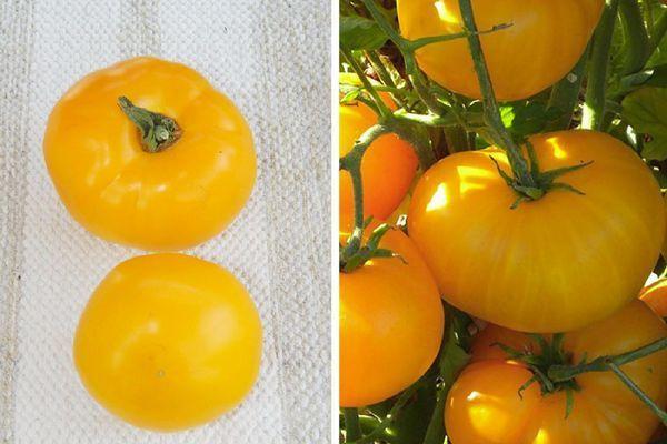 Тепличные помидоры для Ленинградской области