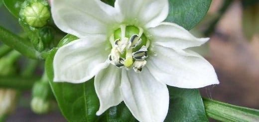Перец Белоснежка: описание сорта, выращивание, фото отзывы
