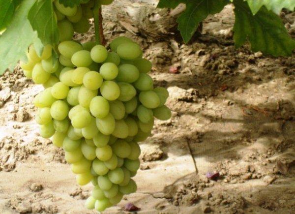 Виноград Благовест: описание сорта, фото, отзывы, видео