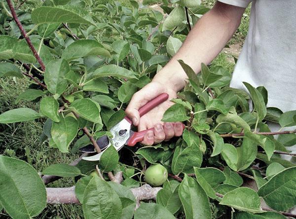Яблоня Семеренко: описание сорта, фото, отзывы, посадка, сбор и хранение урожая.