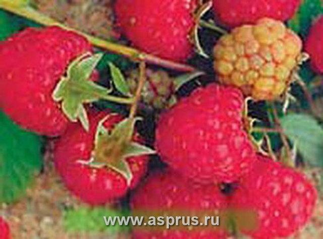Ремонтантные сорта малины для юга России + фото