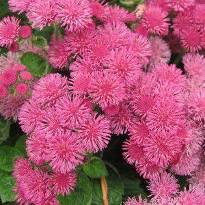 Агератум: выращивание из семян, когда сажать